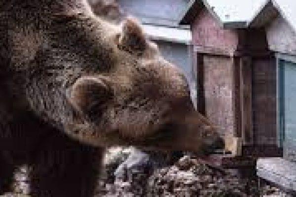 Il miele dell'orso