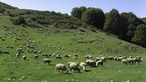 Pecore al pascolo sui Monti Simbruini - ph. D.Valfrè