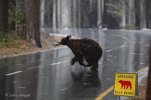 Bears crossing - fonte web