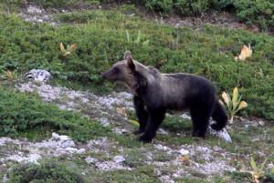 L'orso Ernico - ph. Francesco Culi