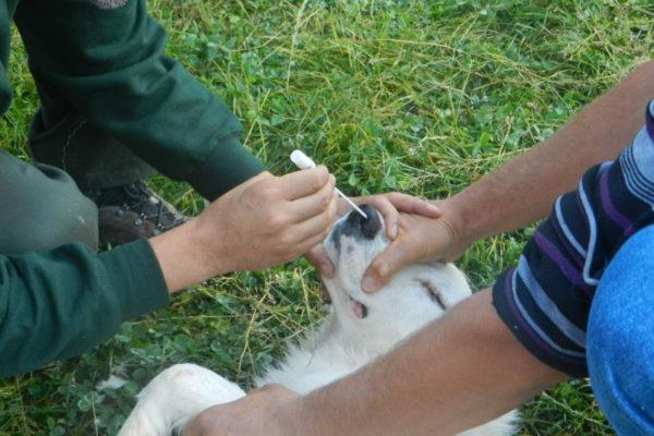 Piano Anti-randagismo Canino nel Parco Nazionale d'Abruzzo, Lazio e Molise